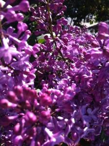 Lilacs 05.10.13