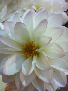 CCC White Dahlia 09.03.13