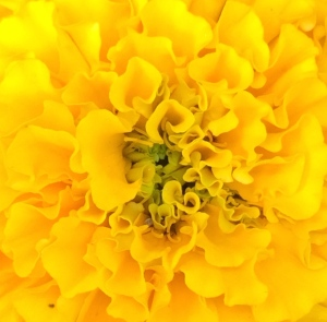 Marigold May 2014