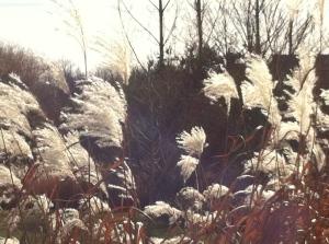 Pampas Grass 1, Carlisle 11.18.15