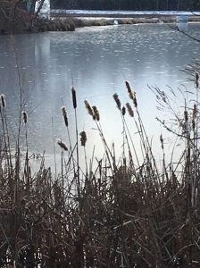 cattails-in-carlisle-ma-02-29-17